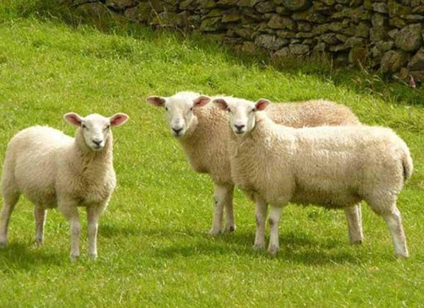 Tìm hiểu về nhau thai cừu