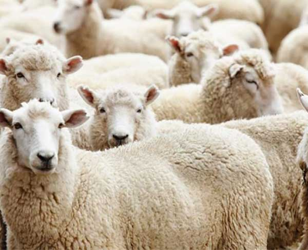 Thành phần bên trong nhau thai cừu