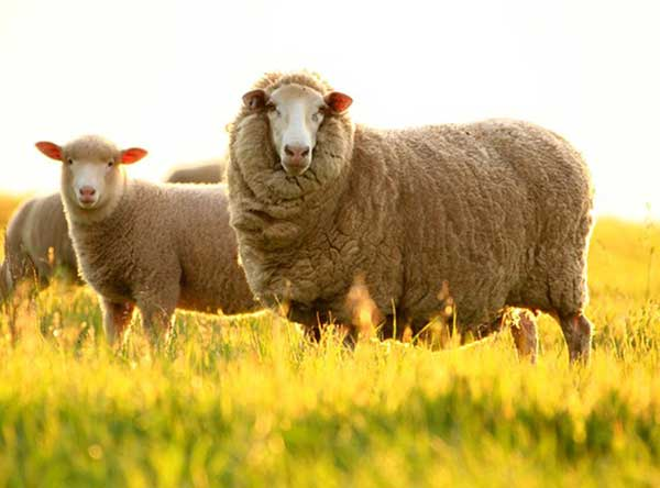 Nhau thai cừu
