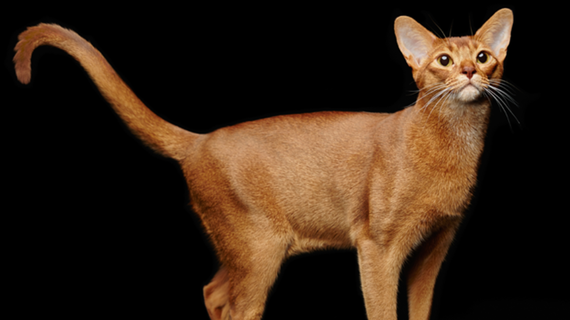 meo-Abyssinian
