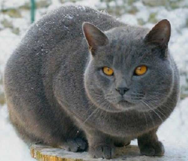 meo-Chartreux