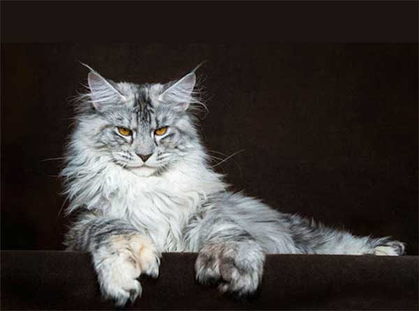 meo-Maine-Coon