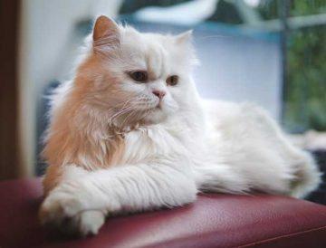 Top 10 chú mèo lười đẹp nhất