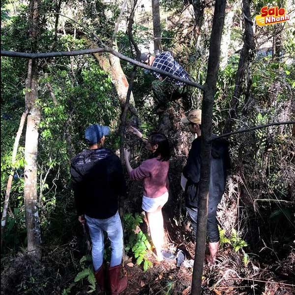 Hái lan trong rừng Đà Lạt